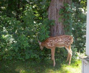 deer-21